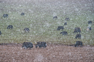Yaks graze on a hillside above the Yarlong River, veiled in a summer's snowstorm. It can snow anytime at 12,000 feet, high on the Tibetan Plateau, Kham, Sichuan, China. Photo: Michael Yamashita.